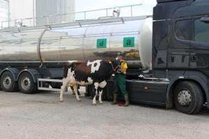 élevage laitier