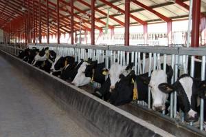investir dans l'élevage laitier